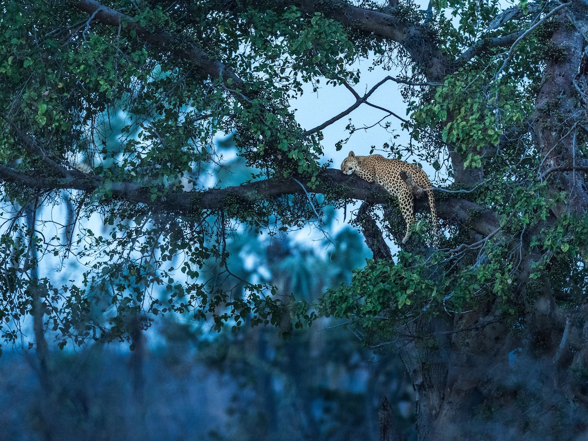 George Turner leopard in the Ruaha National Park, Tanzania
