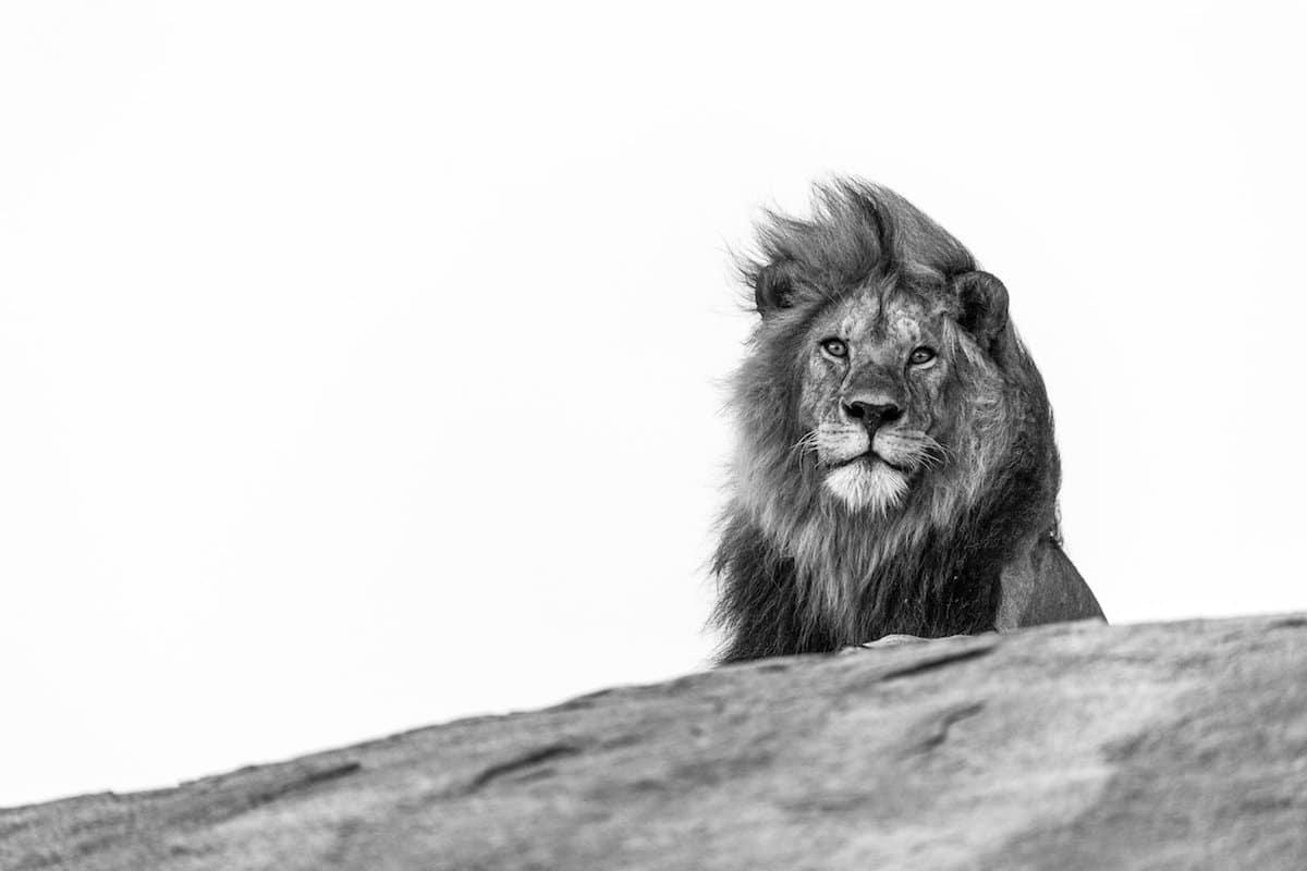George Turner lion photograph