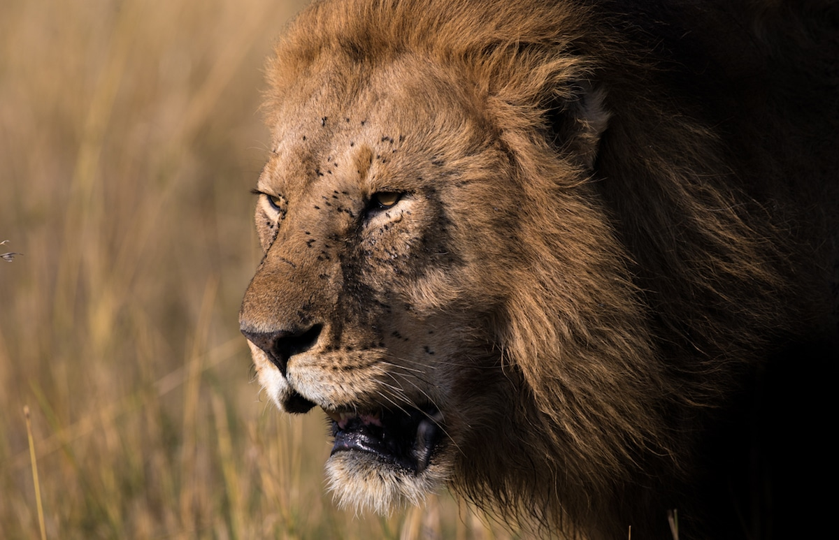 Richard Johnston Lion Wildlife Photography