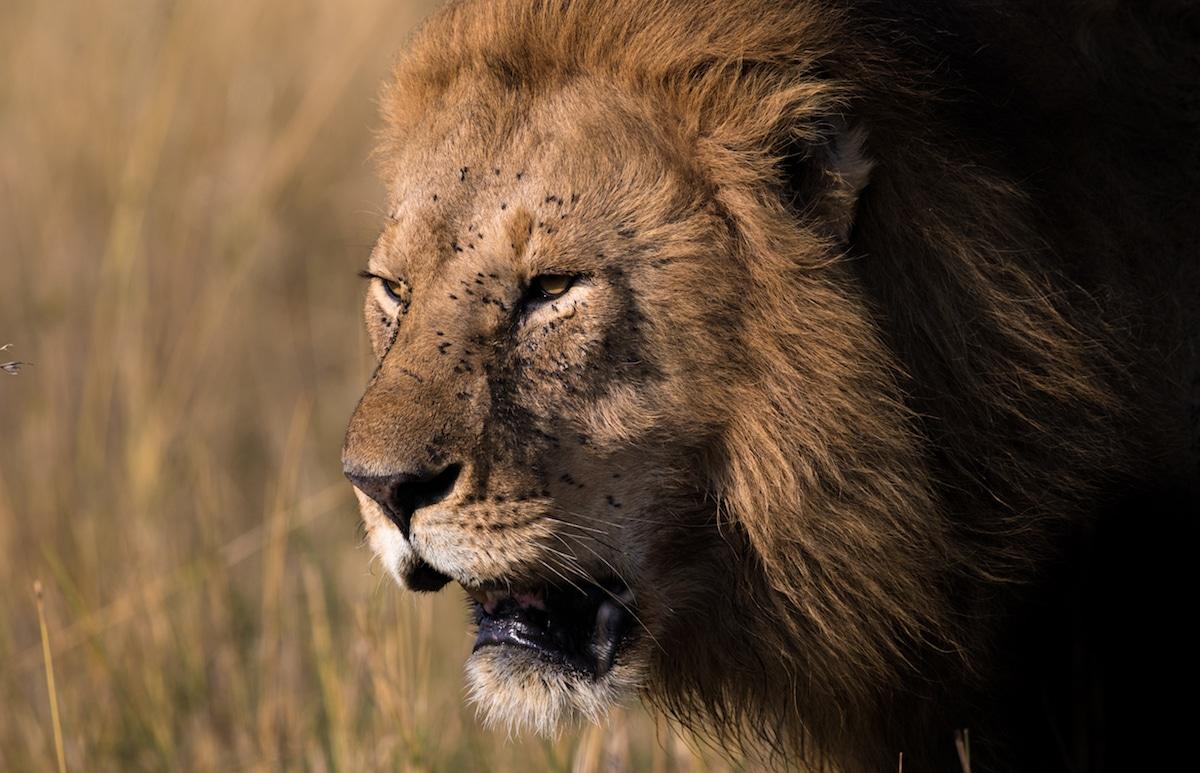 Richard Johnston Lion Wildlife Photography