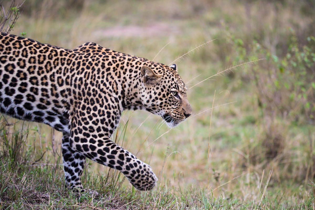 Richard Johnston Leopard Wildlife Photography