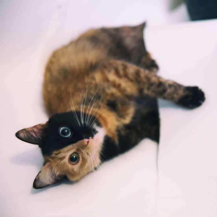 Quimera, a Chimera Cat
