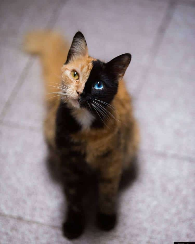 Quimera, a Chimera Cat
