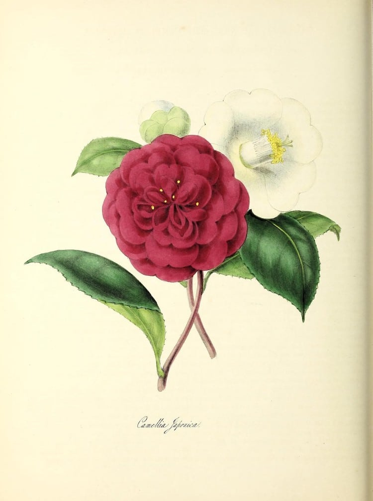 free botanical illustrations online