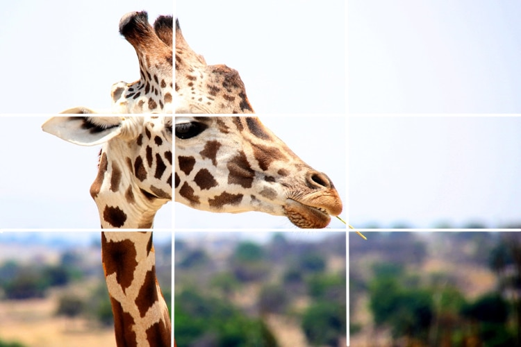 wildlife photography rule of thirds grid