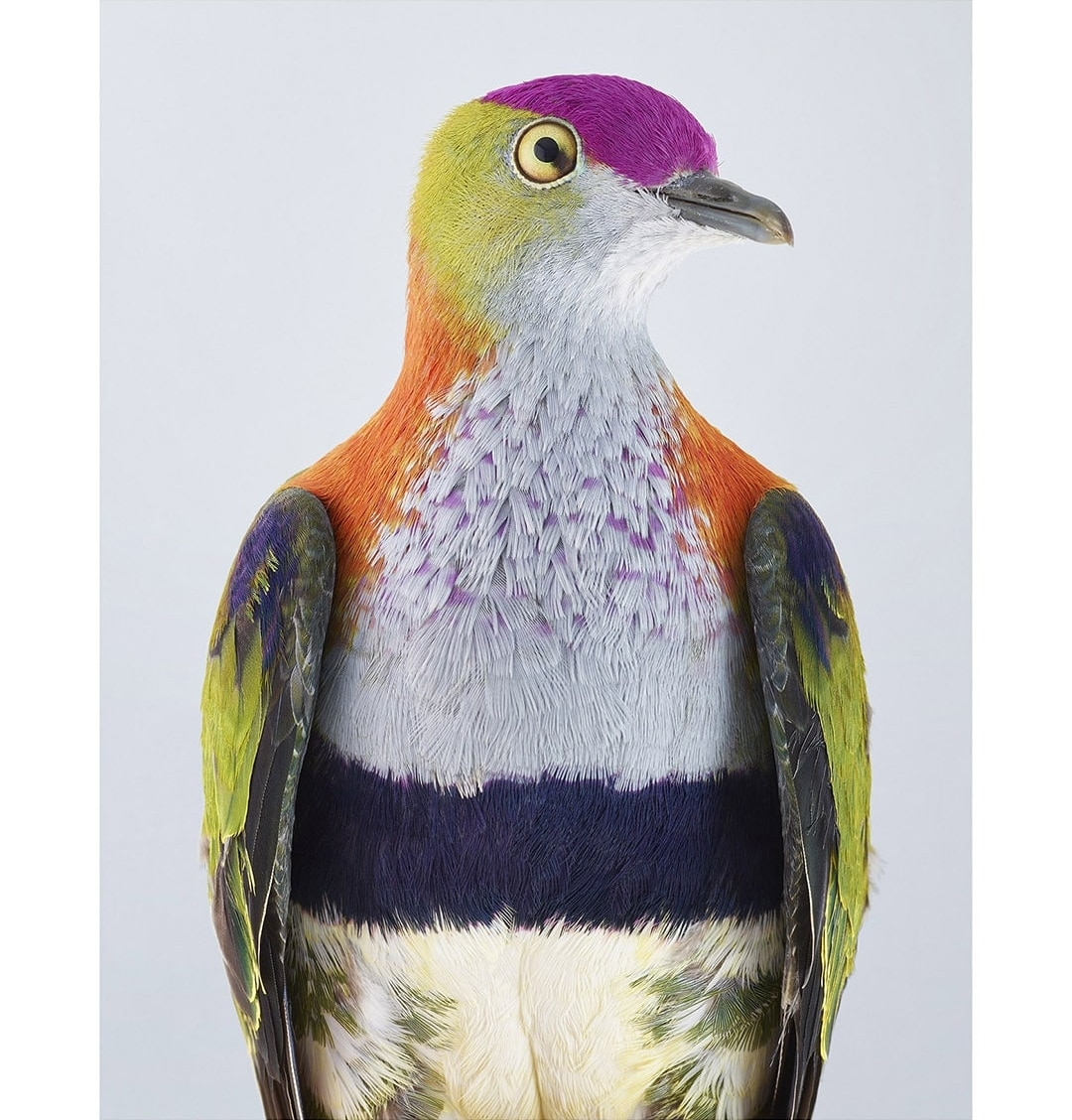 Superb Fruit Dove by Leila Jeffreys