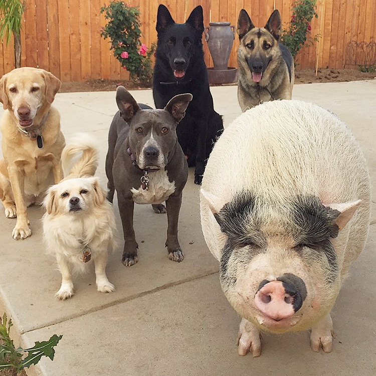 dog and pigs