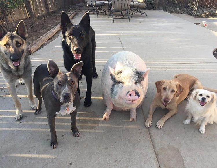 Pet Pig Piggypoo and Crew