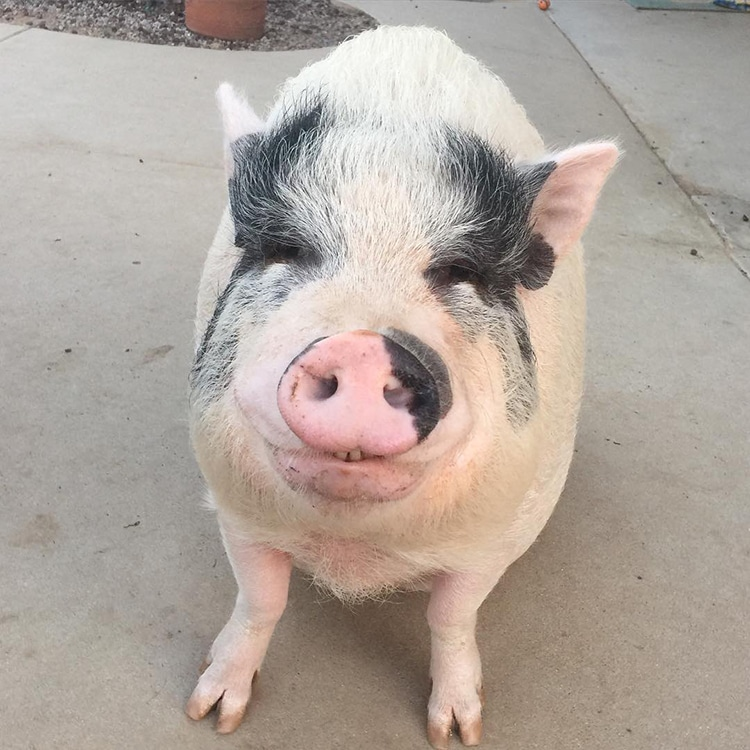 Pet Pig Grows Up With Dogs And Thinks Hes Just Like His Canine Crew - Adorable pig whos grown up with dogs believes shes a puppy too