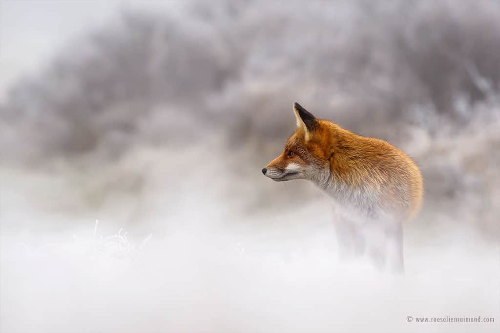 Red Fox Photos in the Snow by Roeselien Raimond