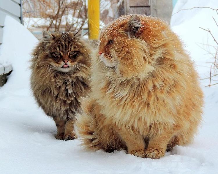 siberian-cats-alla-lebedeva-1.jpg