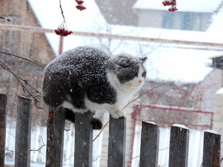 Norwegian cat on fence