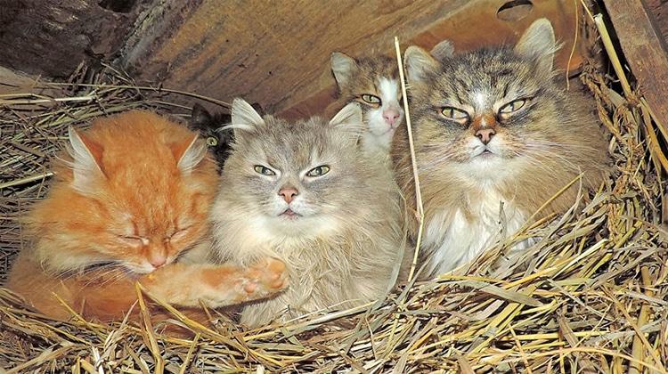 Siberian Cats Alla Lebedeva