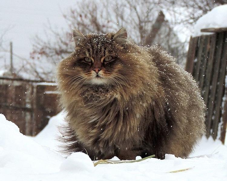 siberian-cats-alla-lebedeva-3.jpg