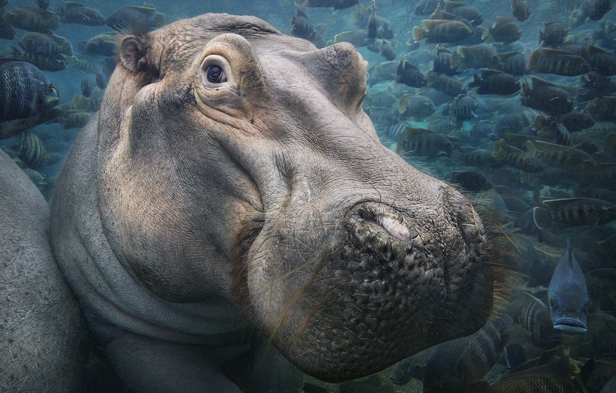 flach tim endangered animals hippopotamus animal species extinction most brink photographer