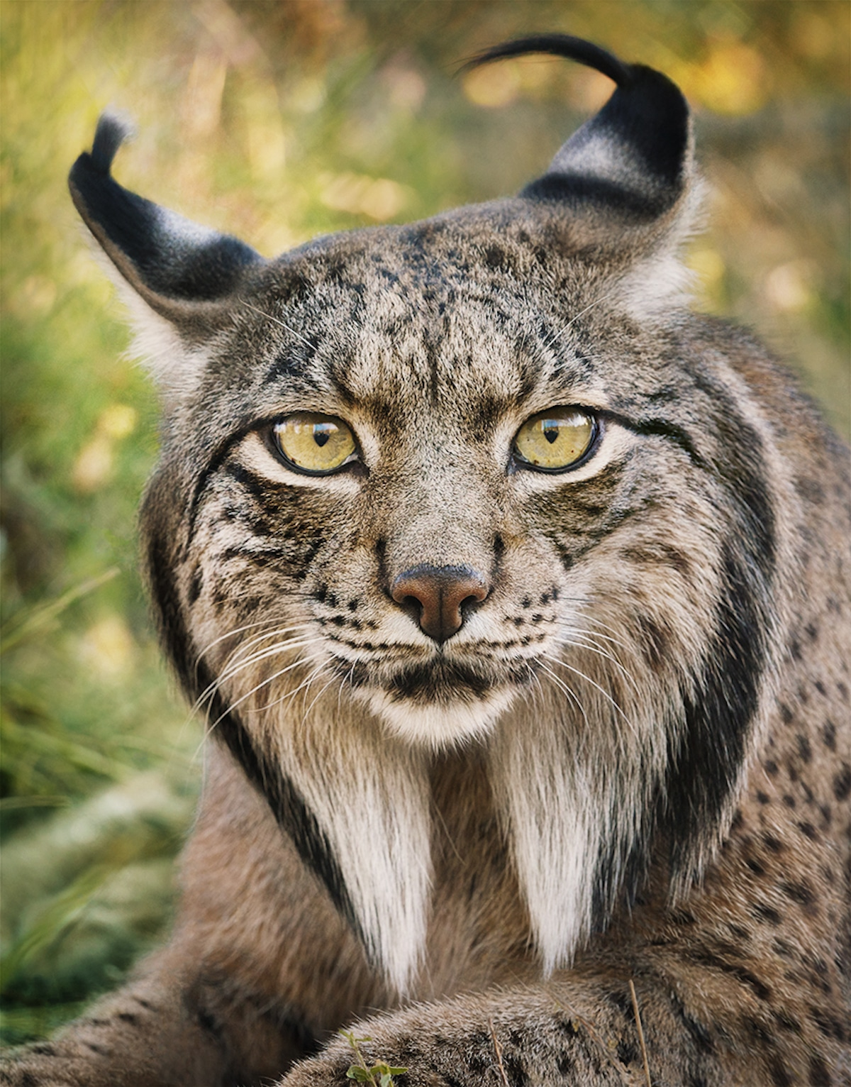 endangered lynx iberian flach tim animals animal species most extinction humanity bring