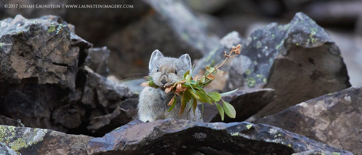 Josiah Launstein Photo of a Pika