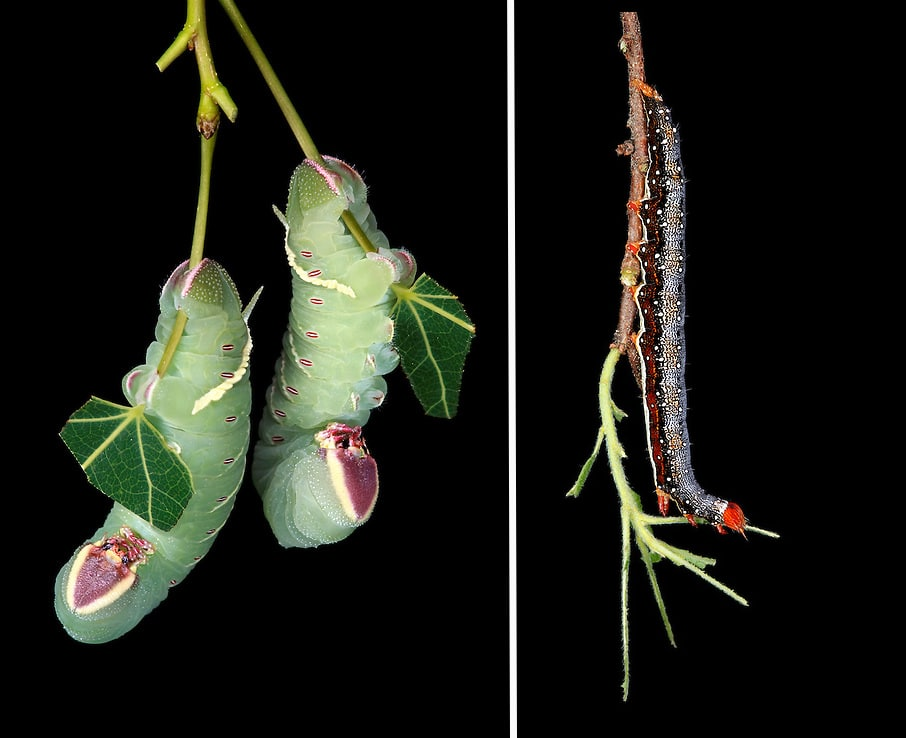 Photos of New England Caterpillars