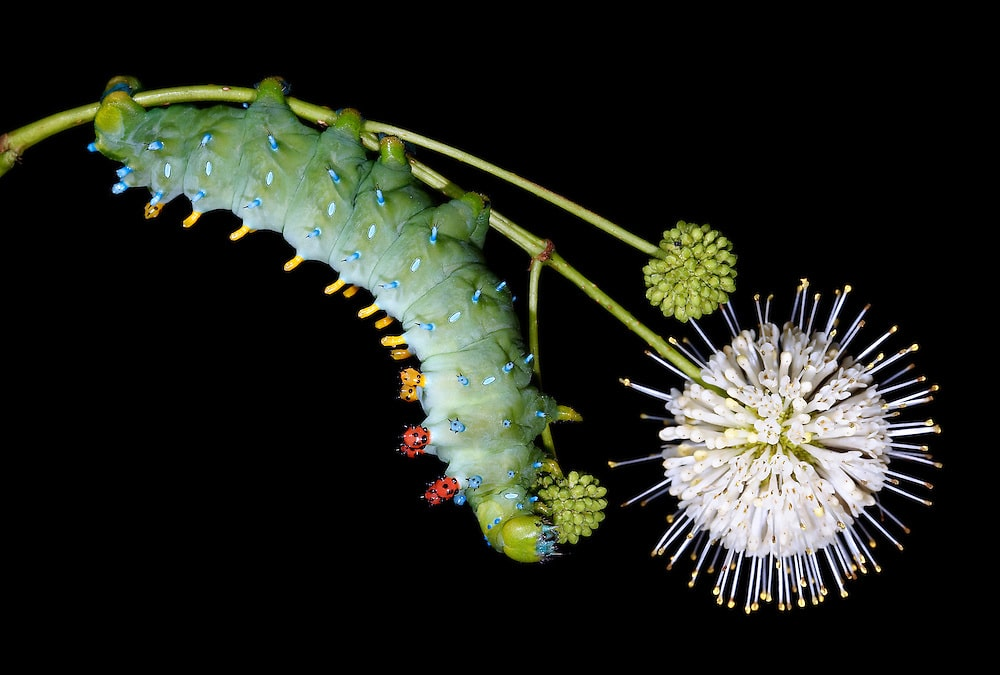 Cecropia Giant Silk Moth Photo