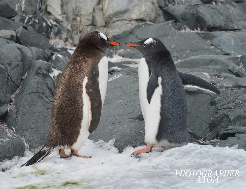 Gentoo Penguin Picture