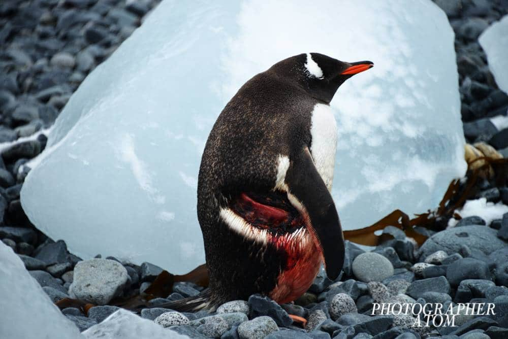 Gentoo Penguin in Antarctica by ATOM Photographer
