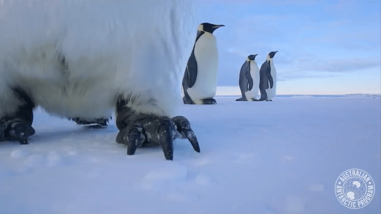 Emperor Penguin Selfie