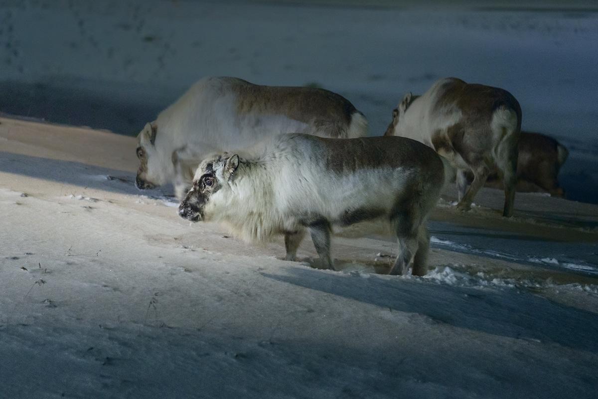 Maria Sahai Svalbard Reindeer in Norway