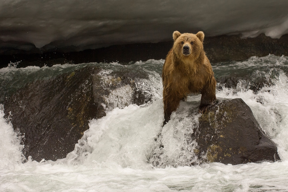 Kamchatka Brown Bears by Sergey Gorshkov