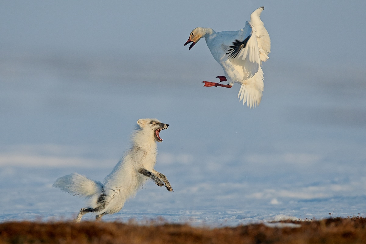 Sergey Gorshkov Arctic Fox Photography