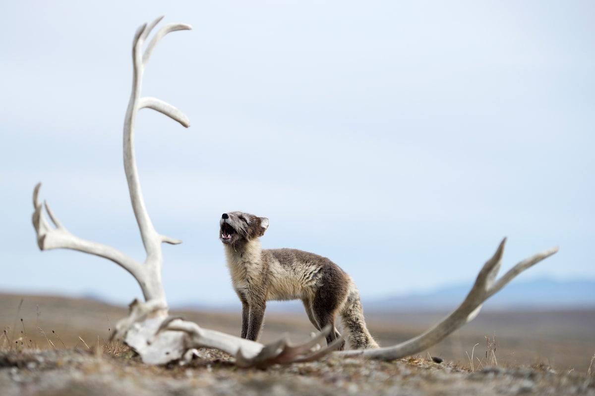 Sergey Gorshkov Arctic Fox Photography