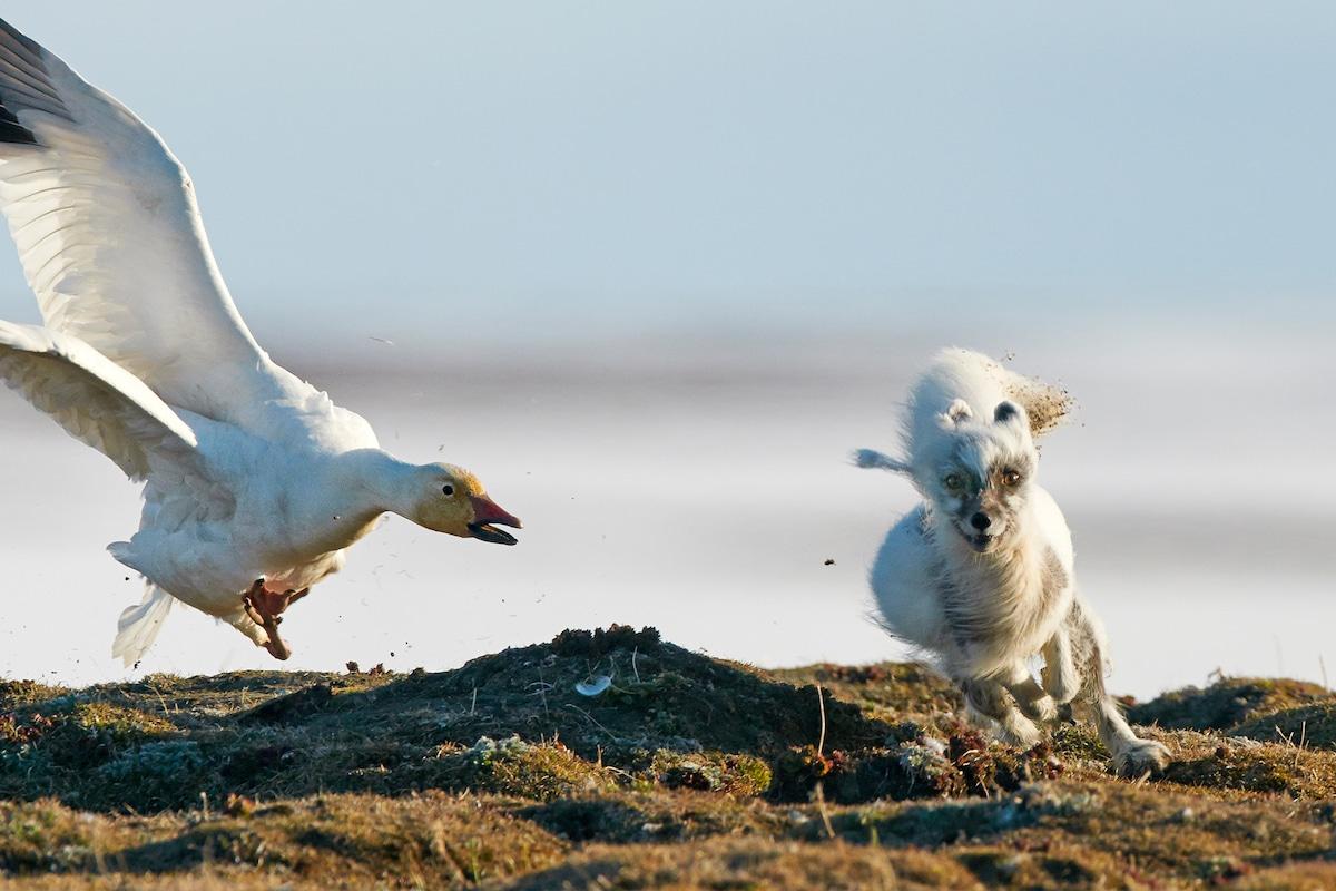 Sergey Gorshkov Arctic Fox Photograph