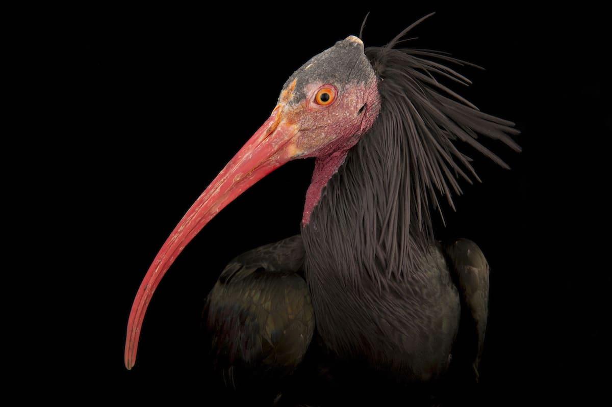 Image of: Geographic Society Bird Species Animal Portraits By Joel Sartore My Modern Met Bird Species Portraits Help To Raise Awareness For Endangered Animals