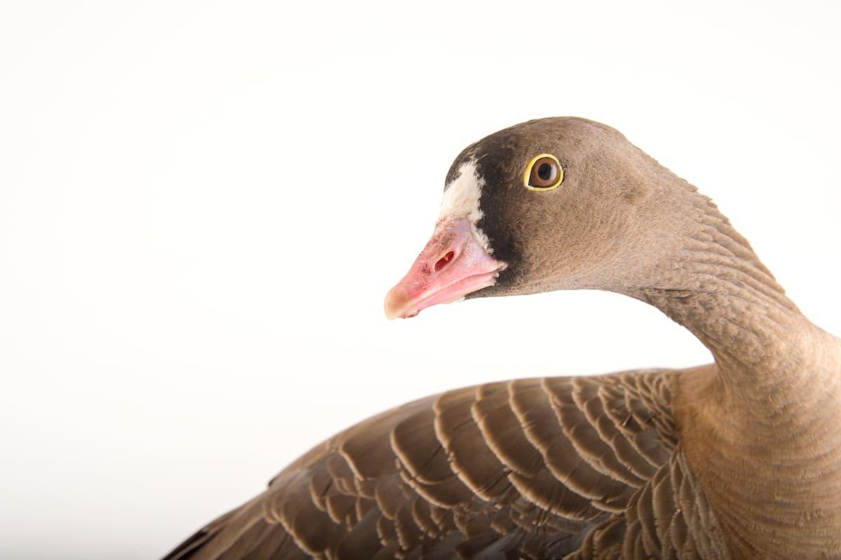 Bird Species Animal Portraits by Joel Sartore