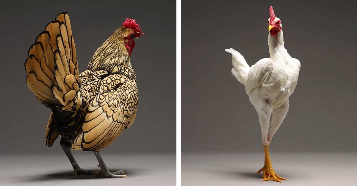 Photobook Captures Diverse Beauty Of 100 Different Types Of Chickens