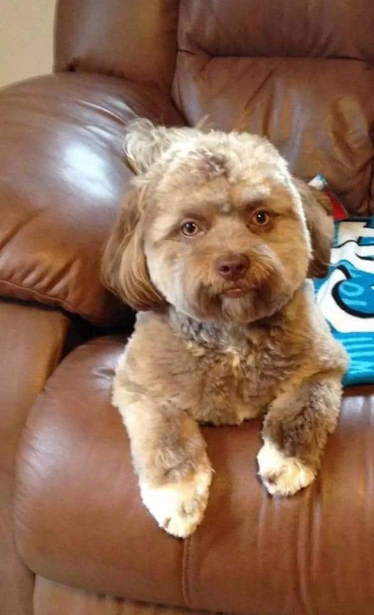 Shih-Poo Dog with Human Face