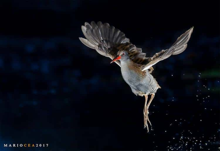 Highspeed Photography of Birds by Mario Cea