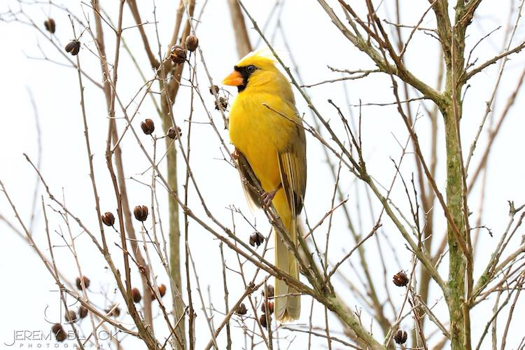 Rare Yellow Cardinal Genetic Mutation