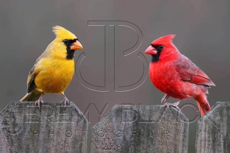 Rare Yellow Cardinal and Red Cardinal Together