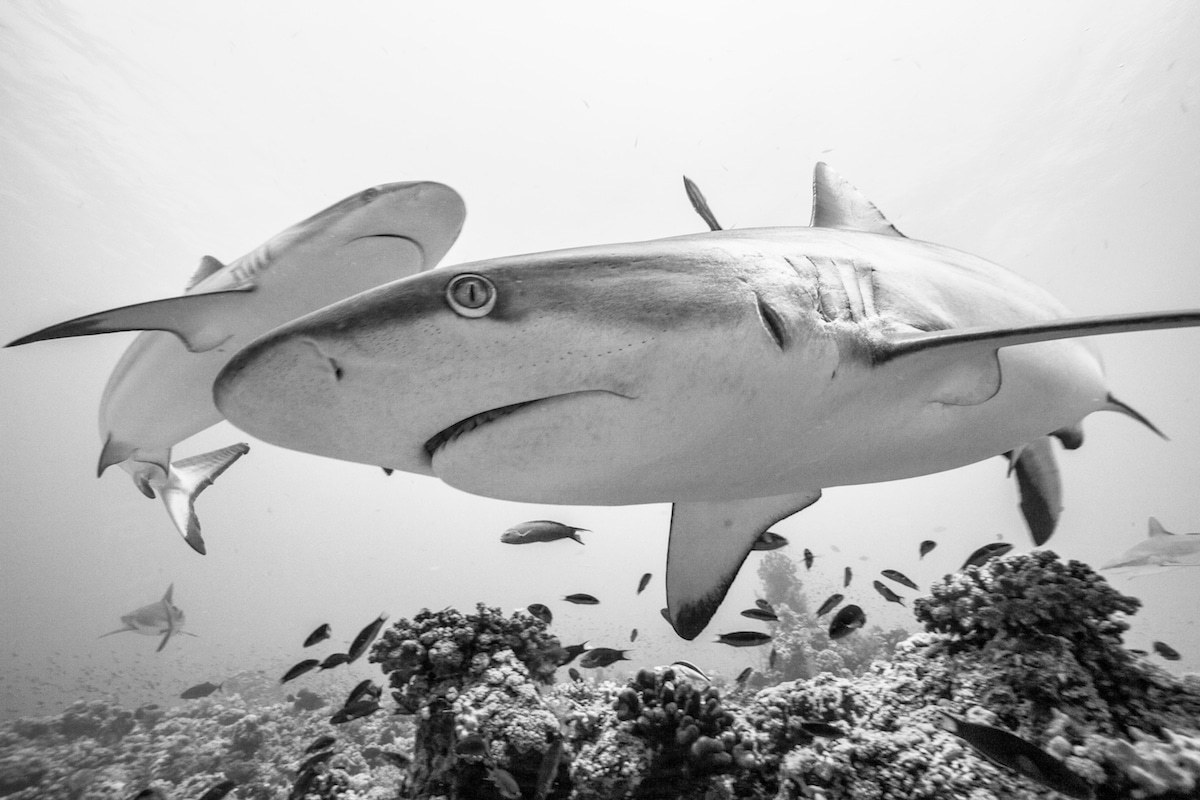 Simone Caprodossi Shark Photography