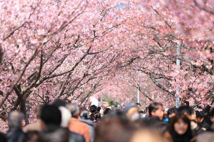 Sakura Symbolism What Is The Cherry Blossoms Meaning In Japan