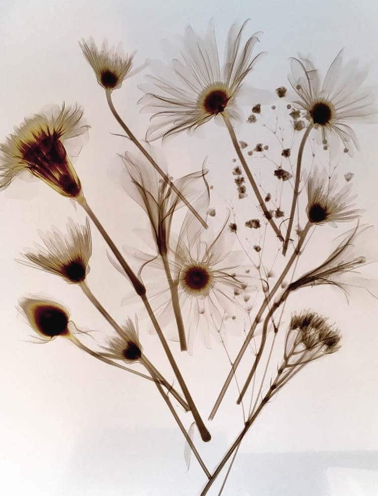 Redditor Daisy Cutter Shared An Exquisite Example Of X Ray Flower Photography And Another Responded With Inverse The Same Image
