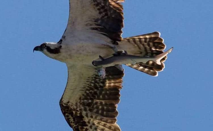 Osprey Bird Photography by Doc Jon