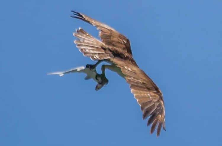 Osprey Carrying a Shark Carrying a Fish by Doc Jon