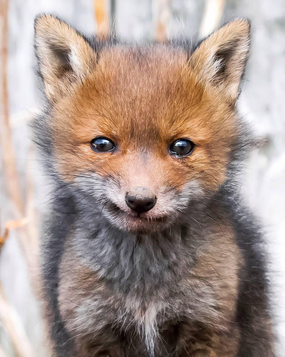 Fox Portrait Fox Photos Ossi Saarinen