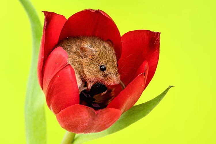Macro Photography Harvest Mice in Tulips by Miles Herbert