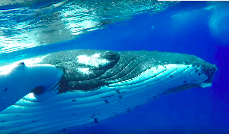 Humpback Whale Saves Diver