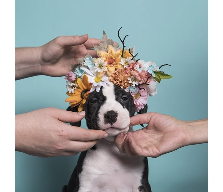 Pit Bull Flower Power by Sophie Gamand