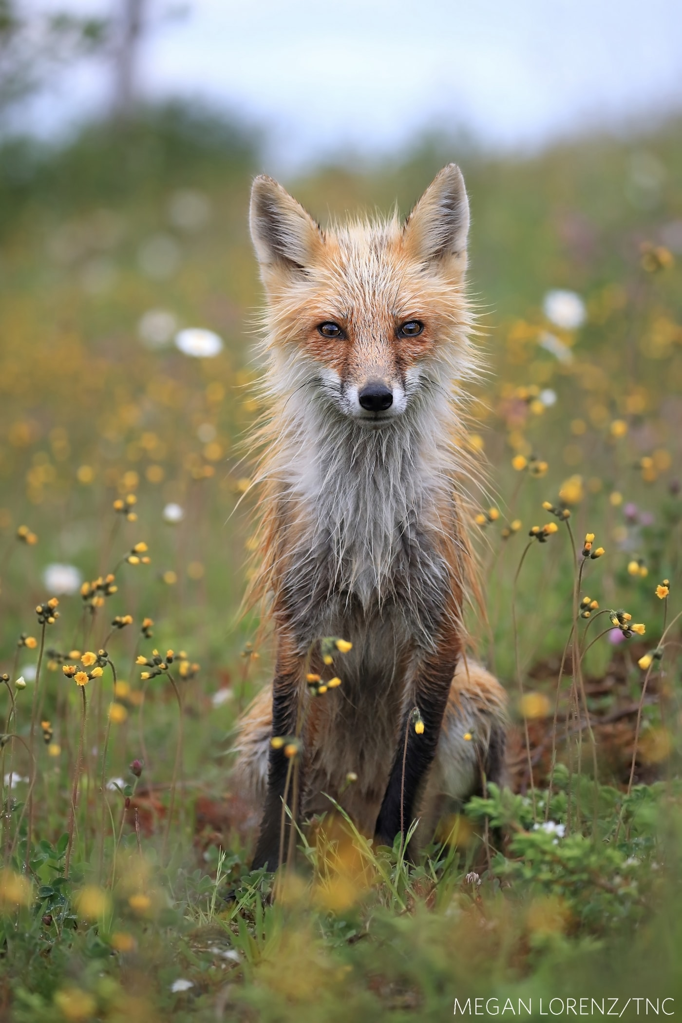 Red Fox Photo for The Nature Conservancy 2018 Photo Contest