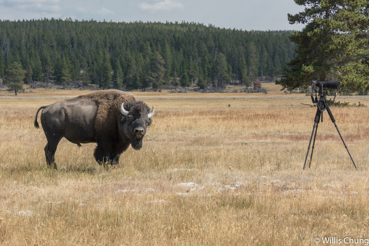 Willis Chung - Yellowstone Park Bison