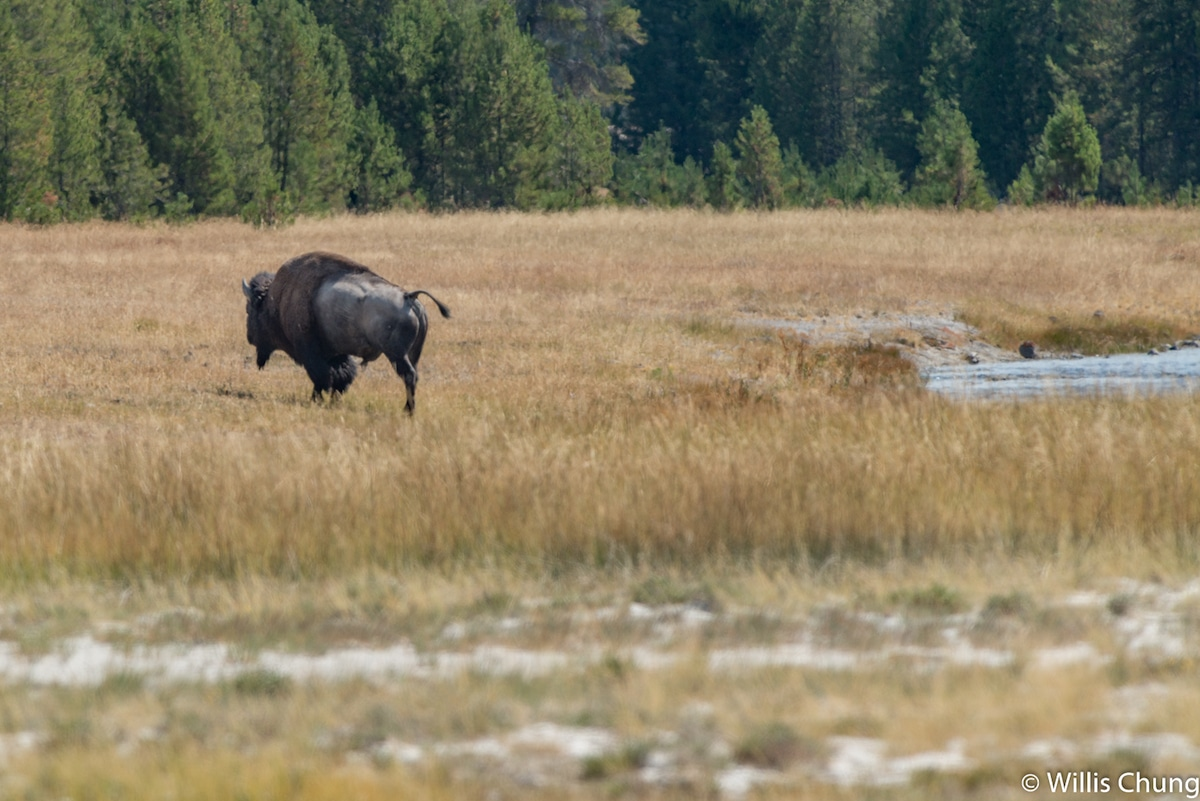 Bison Photo by Willis Chung